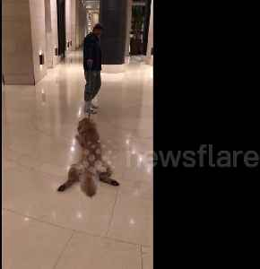 Lazy dog doesn't want to walk and has to be dragged by owner [Video]