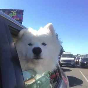 Samoyed Dog Sings Along to Sirens in Car [Video]