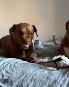 Dog Has a Hard Time Sharing Toys with Sibling [Video]