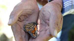 In Mexico, planting forests for monarch butterflies [Video]
