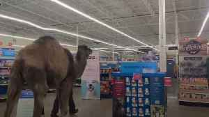 Camel shocks shoppers as he visits a store in Michigan [Video]