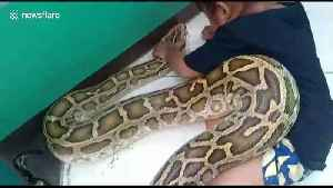 Little girl applies medicine to giant 4.5m python to treat mouth infection [Video]