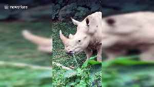 The son of China's first white rhinoceros meet tourists in Guangdong [Video]