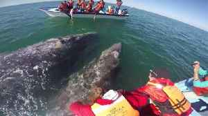 Having A Whale Of A Time: Couple's Boat Pushed Around By Playful Grey Whales And Their Babies [Video]