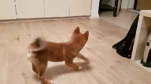 Shiba Inu Puppy Totally Loses It When Owner Comes Home [Video]