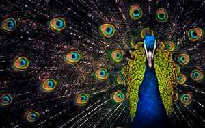 A peacock escaped from a local farm [Video]