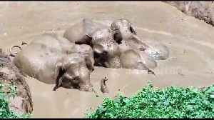 Entire herd of elephants rescued after jumping into farm pond to save lost calf [Video]