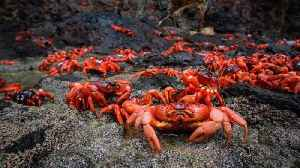 Millions Of Red Crabs Take Part In Epic Migration On Christmas Island Each Year [Video]