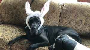 Great Dane Models Easter Bunny Ears with Slight Wardrobe Malfunction [Video]