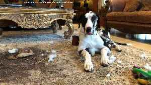 Great Dane Puppy Dumps Plant and Dirt on the Rug [Video]
