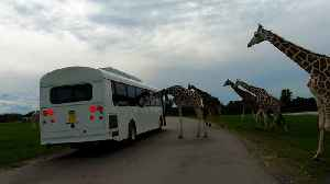 Herd of majestic giraffes take a serious interest in tourist bus [Video]