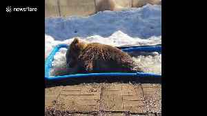 Russian brown bear chucks about his bath toys while cooling off in ice trough [Video]