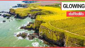 Fields of daffodils glow in the sunlight on cliffs overlooking the North Sea [Video]