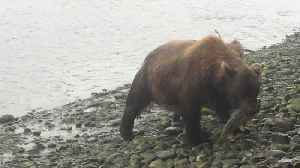 Momma Pair Brings Salmon to Shore for Her Cubs [Video]