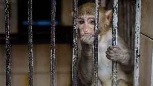 In Ethical Nightmare Scientists Add Human Genes to Monkeys' Brains [Video]