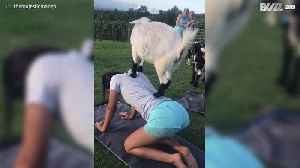 Who said yoga wasn't for goats too? [Video]