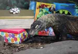 Daenerys the Komodo Dragon Celebrates Birthday on Same Day as Game of Thrones Season Premiere [Video]