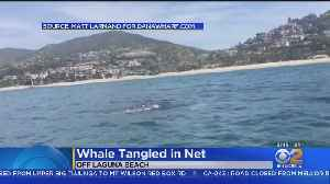 Whale With Fishing Net Wrapped Around Tail Spotted In Laguna Beach [Video]