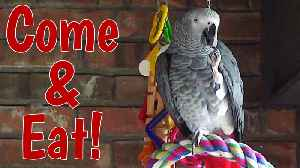 Hospitable talking parrot enjoys imaginary dinner [Video]