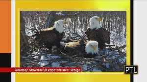Bald Eagle Trio: Nest With Two Dads, And One Mom Raising Three Eaglets [Video]