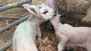 This Old 'Bra Bra Black Sheep' Has to Wear a Double-D Bra to Feed Her Twin Baby Lambs [Video]