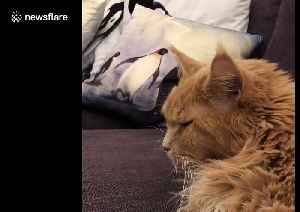 Big ginger Maine Coon cat wakes up from nightmare then goes back to sleep [Video]