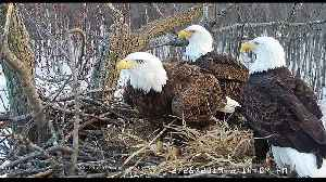 Watch: The eagle chicks with one mum and two dads [Video]