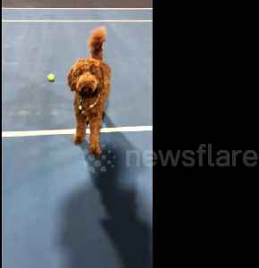 'Dog-er Federer'! Pooch learns to be a ball boy while owners play tennis [Video]