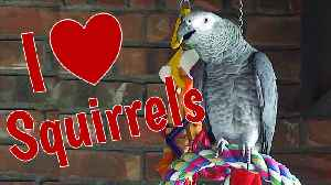 Parrot sweet talks the backyard squirrels [Video]