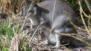 Rare 'miniature kangaroo' born at Chester zoo [Video]