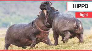 Incredible pictures show two male hippos clashing in an epic riverside fight [Video]