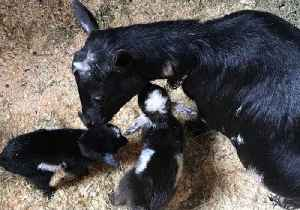 Maine Dairy Farmer Welcomes the First Baby Goats of the Season [Video]