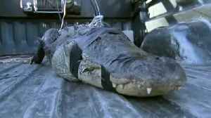80-year-old Florida man wrangles large alligator in his backyard [Video]