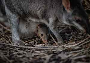 Rare Marsupial Joey Makes First Appearance at Chester Zoo [Video]
