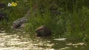 Why Did the Beaver Cross The Road? Dashcam Video Shows Beaver Dragging Branch Across Highway [Video]