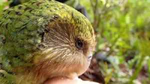 News video: Kakapos, World's Fattest Parrots, Just Had The Best Breeding Season To Date