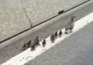 'Sunday Excursion': Mother Duck and 10 Chicks Escorted Off Austrian Highway [Video]