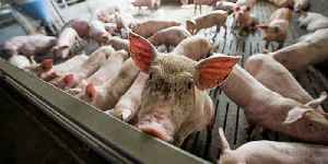 News video: Scientists Successfully Revive Brain Cells in Dead Pigs