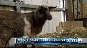 Two dogs responsible for death of goats, alpaca [Video]