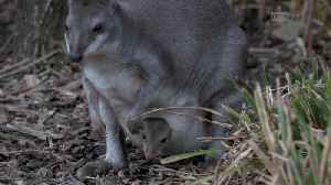 Surprise! Rare dusky pademelon born at Chester Zoo [Video]