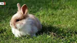 Britain's Earliest Bunny Was Found At A Roman Palace [Video]