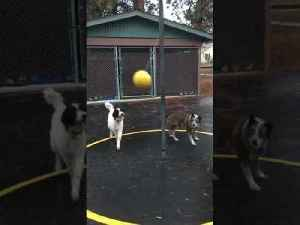 Two Dogs Play Tetherball [Video]