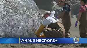 Marine Biologists Say Dead Whale On Pacifica Beach Didn't Seem Malnourished [Video]