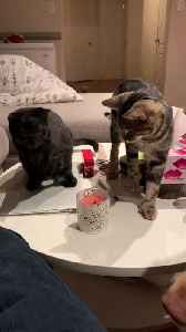 Cat Snuffs out Candle with Paw [Video]