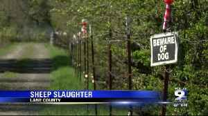 DOGS PUT DOWN AFTER SECOND MASS SHEEP SLAUGHTER IN EUGENE [Video]