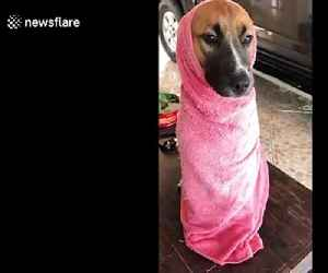 Doggy wrapped up in towel after bath [Video]