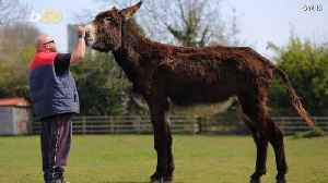Is This HUGE Donkey About to Become The Biggest In the World? [Video]