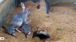 Behold Australia's Very Own 'Easter Bunny' - The Bilby [Video]