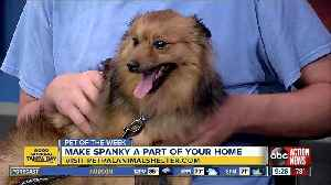 Pet of the Week: Spanky  is a sweet, 1-year-old Pomeranian mix looking for his fur-ever family [Video]