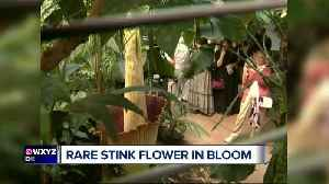 Thousands come to smell corpse flower blooming in Ann Arbor [Video]